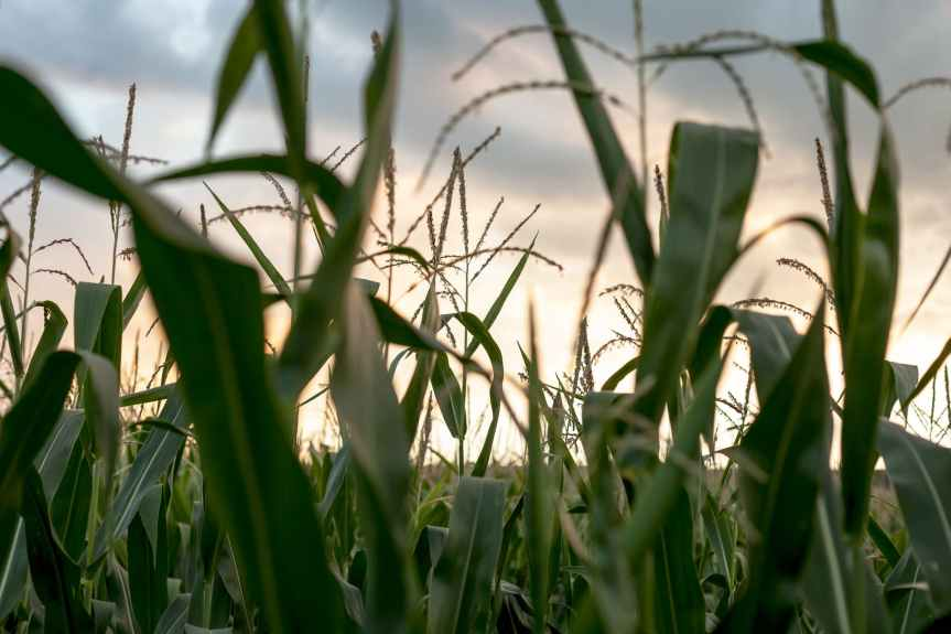 shallow focus photography of corn field