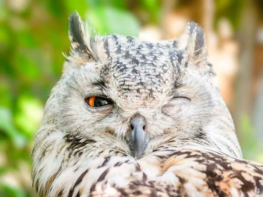 close up photo of owl with one eye open
